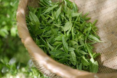 فوائد الشاي الاخضر للشعر -أوراق الشاي الاخضر