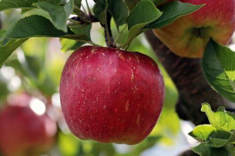 فوائد خل التفاح للأعصاب -صورة شجرة تفاح
