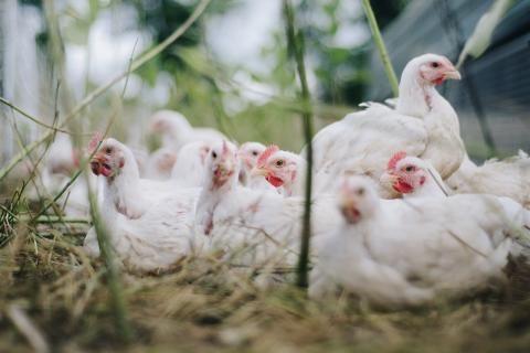 مشاريع مربحة في الأرياف -مزرعة دواجن