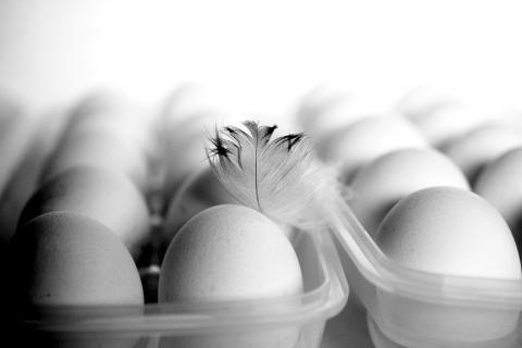 تربية الفراخ البيضاء عمر 15 يوم -سلة بيض