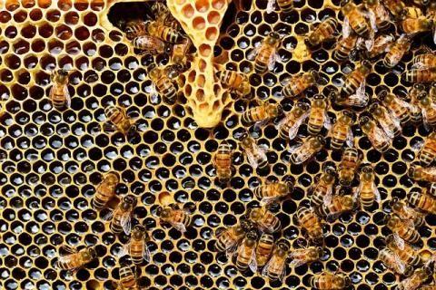 النحل ينتج غذاء ملكات النحل الموجود في رويال فيت جي